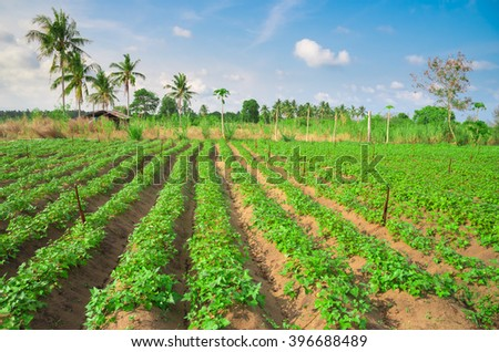 Cassava field after watering at spring season, agricultural landscape