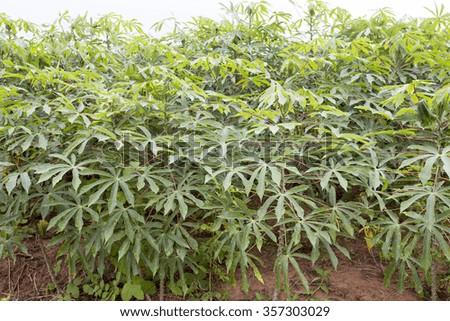 cassava, in portuguese mandioca, plantation in brazil - stock photo