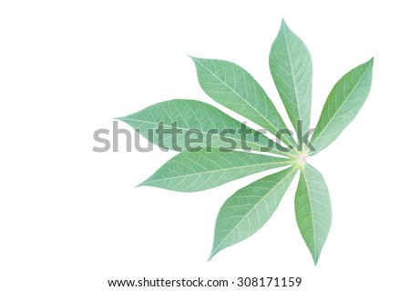 Cassava leaf isolated on white background, clipping path included - stock photo