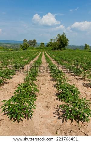Cassava or manioc farmland agriculture plant field in Thailand - stock photo