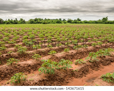 Cassava or manioc plants in Thailand - stock photo