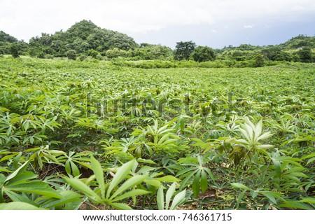 how to grow tapioca plant