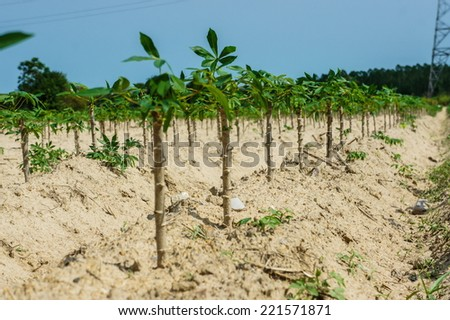 cassava tree in the field - stock photo