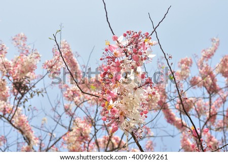 Cassia bakeriana, Wishing Tree, Pink Shower, Pink cassia, Flower blossom background - stock photo