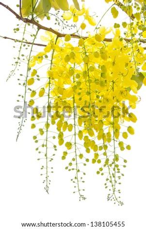 Cassia fistula - stock photo