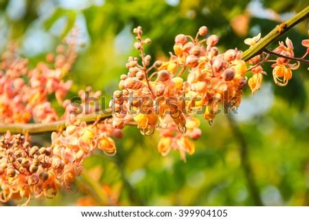 Cassia  Grandis Flower on tree in garden. - stock photo