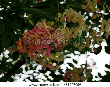 Cassia Tree Stock Images RoyaltyFree Images Vectors Shutterstock