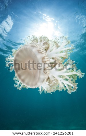 Cassiopea jellyfish, also known as upside-down jellyfish, are found in tropical seas worldwide. They usually live upside-down on the seafloor and are primarily photosynthetic hosting algae. - stock photo