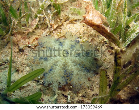 Cassiopea or upside-down jellyfish surrounded by squat cleaner shrimp - stock photo