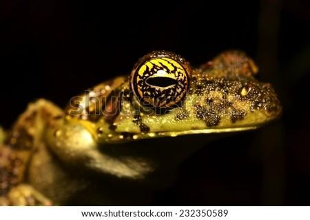 Castanet treefrog   - stock photo