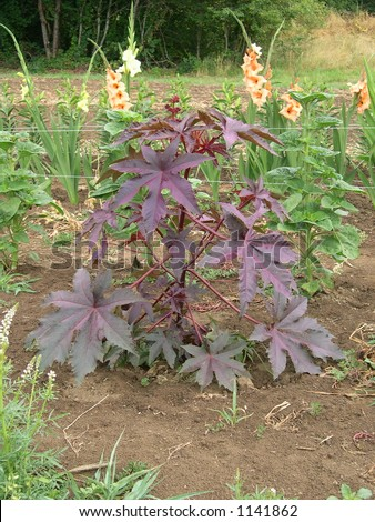Castor Bean plant - stock photo
