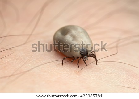 Castor bean tick, Ixodes ricinus, carrier of diseases like tbe and borreliosis filled with blood crawling on human skin
