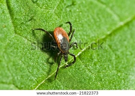 Castor bean tick on the leaf. Ixodes ricinus. - stock photo