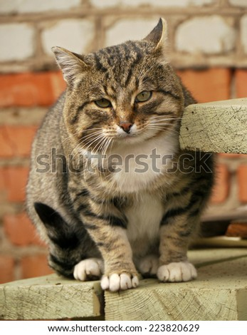 Cat. A large grey cat sitting on the porch outside the house. - stock photo