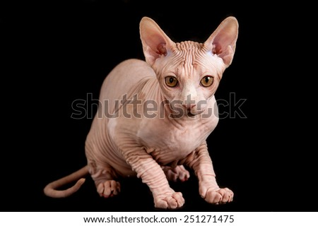 cat a sphinx on a black background in studio - stock photo