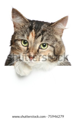 Cat above white banner looking at camera - stock photo