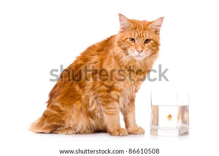 Cat and a gold fish, maine coon kitten 9 months old, isolated over white - stock photo