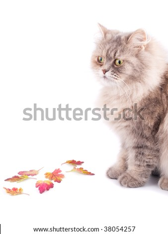 Cat and autumn leaves against white