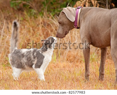 Cat and big dog sniffing noses - stock photo