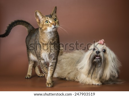 Cat and bolonka zwetna in studio on a neutral background