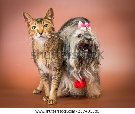 Cat and bolonka zwetna in studio on a neutral background - stock photo