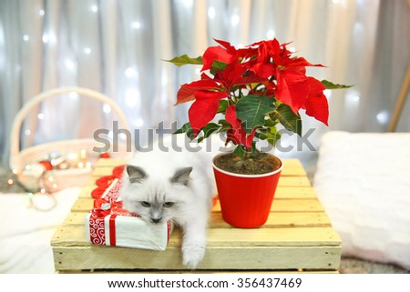 Cat and Christmas flower poinsettia indoor  - stock photo