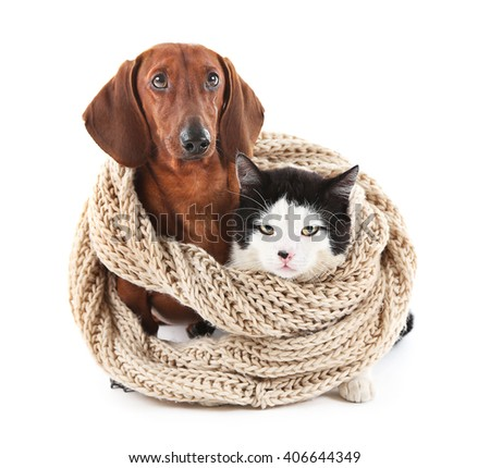 Cat and dachshund in knitted scarf, isolated on white. - stock photo