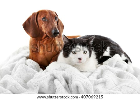Cat and dachshund on a plaid, isolated on white. - stock photo