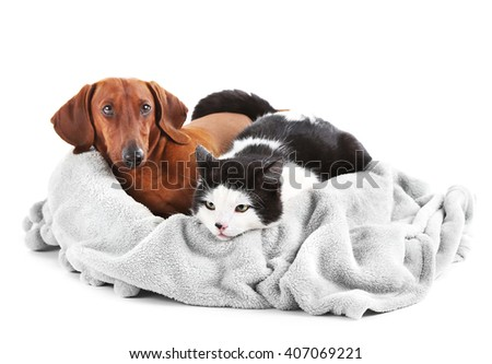 Cat and dachshund on grey lounger, isolated on white. - stock photo