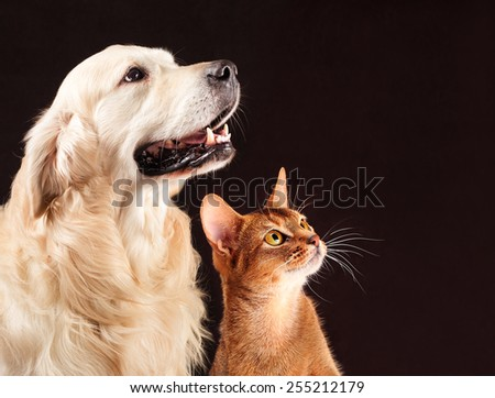 Cat and dog, abyssinian kitten and golden retriever looks at right. - stock photo