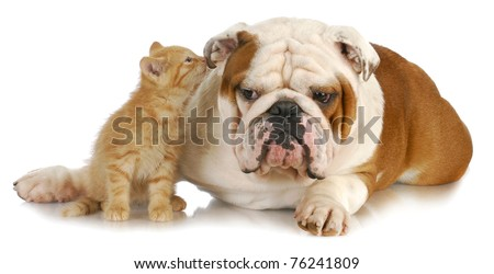 cat and dog - cute kitten whispering into english bulldogs ear on white background - stock photo