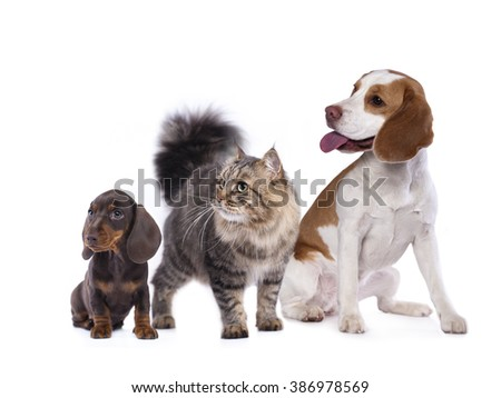 cat and dog, dachshund puppy chocolate color and cat  - stock photo