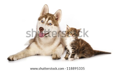 Cat and dog,  kitten  Maine Coon and  husky puppy - stock photo