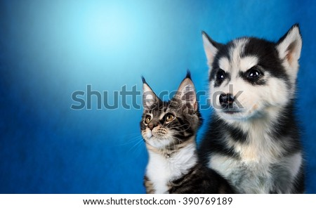 Cat and dog, maine coon, siberian husky looks at left - stock photo
