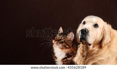 Cat and dog, siberian kitten , golden retriever looks at left - stock photo