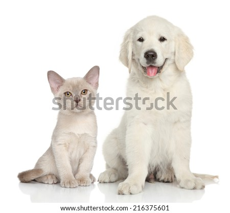 Cat and dog together. Golden Retriever puppy and Burmese kitten sits on white background - stock photo