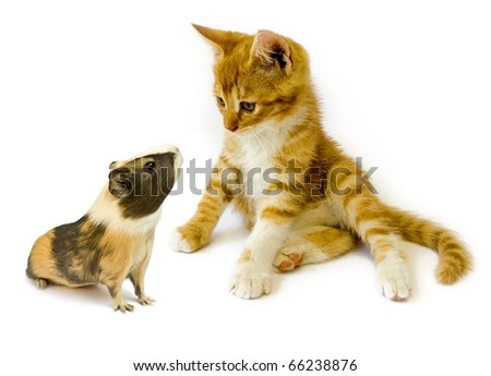 cat  and guinea  isolated on white background - stock photo