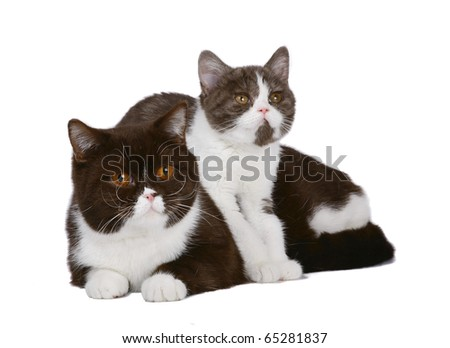 Cat and kitten chocolate white color on a white background.