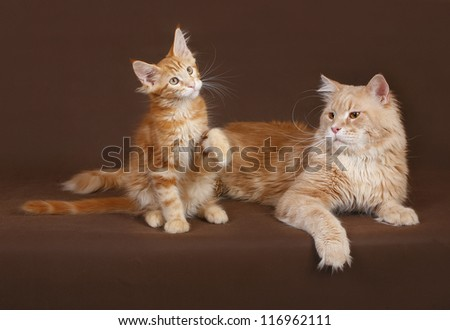 Cat and kitten Maine coon on a brown background - stock photo