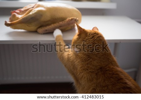 Cat and meat, red cat pet - stock photo