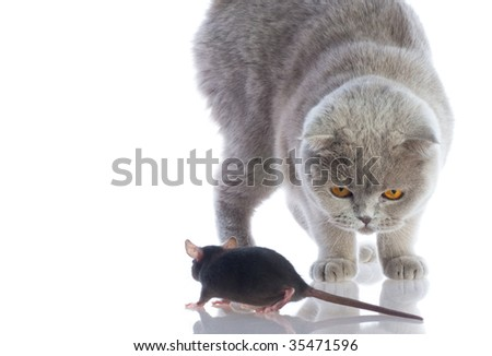 cat and mouse together isolated on a white background - stock photo