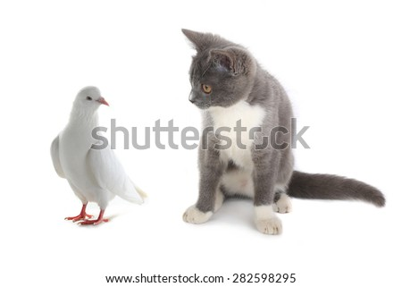 cat and pigeon on a white background - stock photo