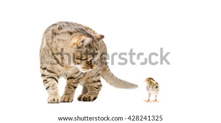 Cat and quail together isolated on white background - stock photo