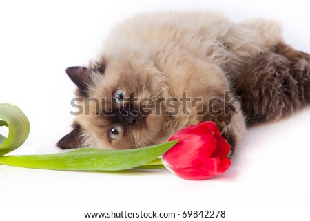 cat and red tulip - stock photo