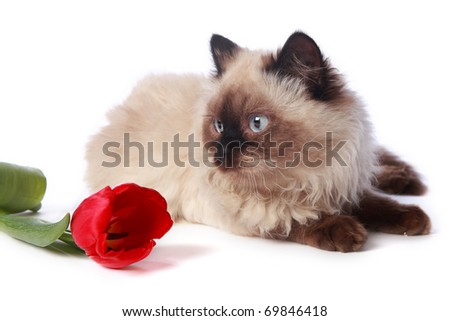 cat and red tulip on white background - stock photo