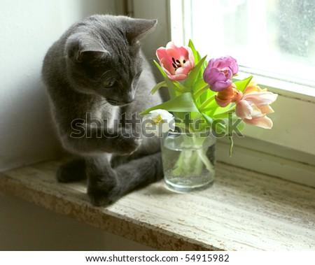 cat and tulips on windowsill - stock photo