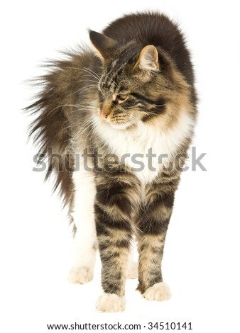 Cat With Arched Back Stock Photos Royalty Free Images