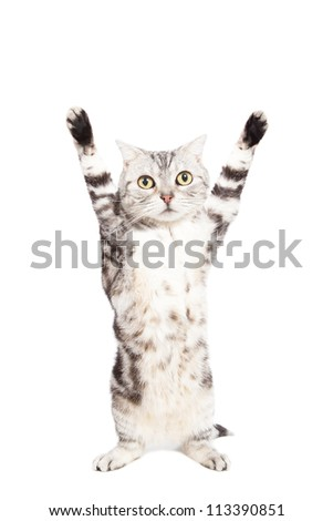 cat are standing and rising hand on the white background - stock photo