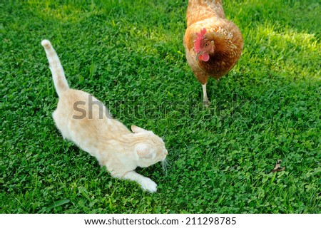 Cat Attacked by Chicken - stock photo