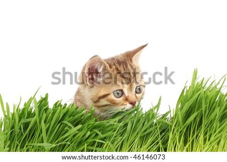cat behind grass - stock photo